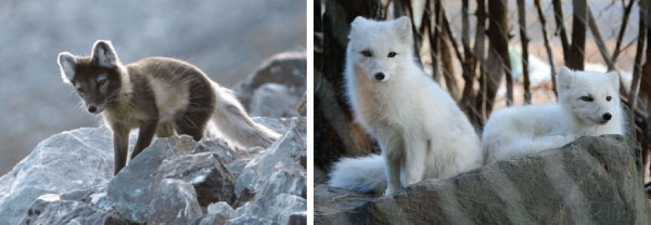Arctic Fox seasonal coat