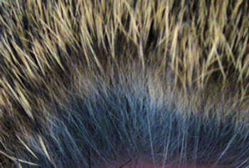 Banding in animal hair.