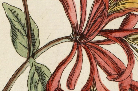 Caprifolium hand-colored illustration