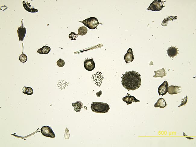 Radiolaria strew as seen using transmitted brightfiled illumination