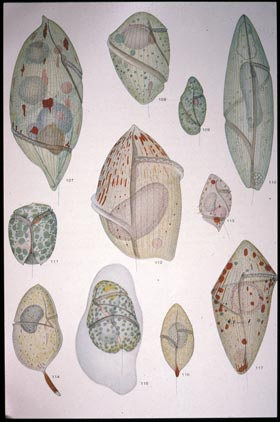 a colorplate from Kofoid's spectacular 1921 publication on The Free-livingUnarmored Dinoflagellata